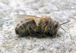 Colony Collapse Disorder-Dead_bee_winter