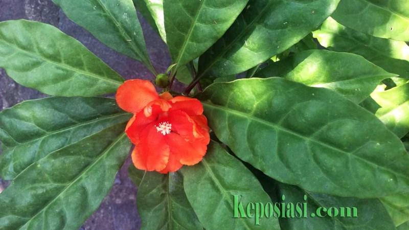 daun tujuh duri - daun jarum tujuh bintang - manfaat - khasiat - keposiasi