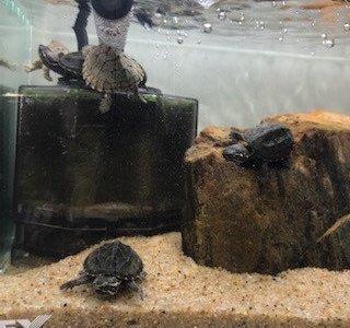 亀、初心者に簡単なベビーの『ミシシッピニオイガメ』の飼い方。