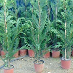 Cupressucyparis leylandii H:120cm