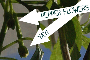 Overwintering Peppers