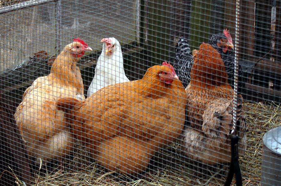chickentender2