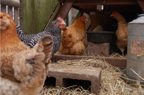 chickentender3