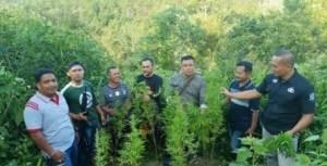 Polisi Temukan Tiga Titik Tanaman Ganja Dalam Kebun Kopi Warga di Desa Jujun Kecamatan Keliling Danau Kabupaten Kerinci Provinsi Jambi