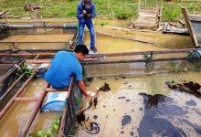 Photo of Ikan Warga Mati Terkena Limbah Cair PT ABP Masuk ke Kerambah
