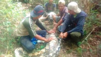 Photo of Ular Phyton 6 Meter Gegerkan Warga Bungo