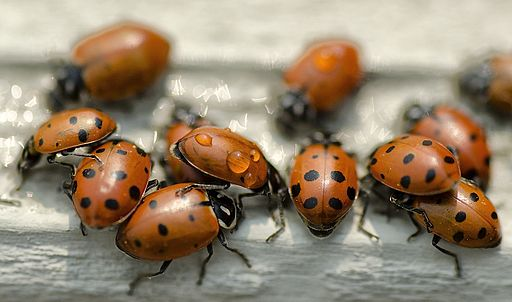 By John Fowler from Placitas, NM, USA (Thirsty Lady Bugs  Uploaded by russavia) [CC BY 2.0 (http://creativecommons.org/licenses/by/2.0)], via Wikimedia Commons