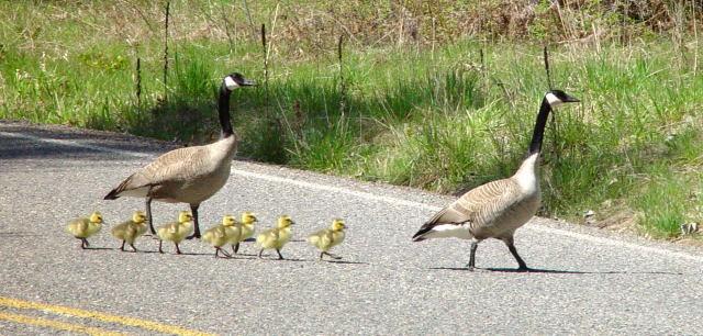 geese-goslings1