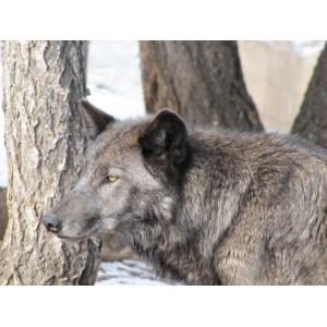 Outstanding California Oregon Washingtoncaliforniawolves