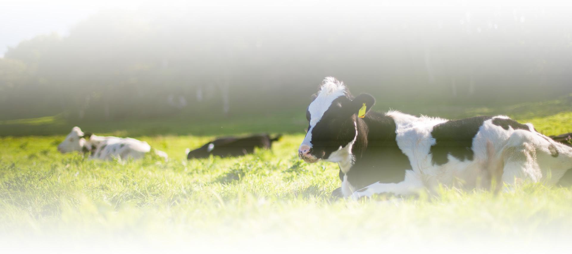 cow-2-80