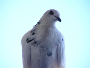 Spotted white pigeon
