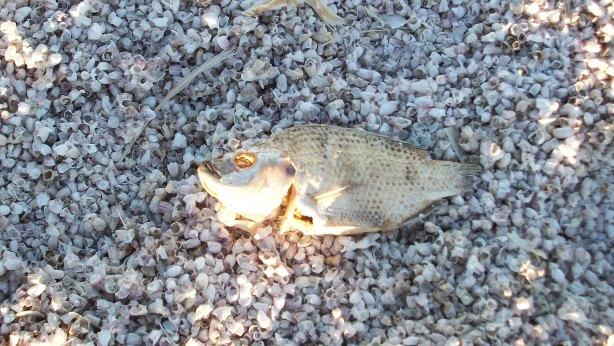 A dead talapia at Salton Sea Beach