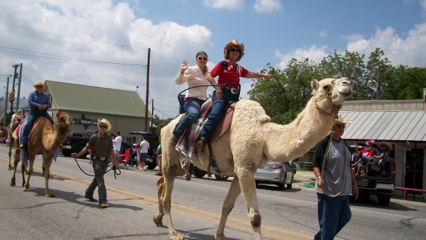 Camels in the parade in Bandera, Texas.