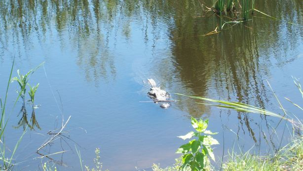 Alligator at Aransas National WIldlife Refge