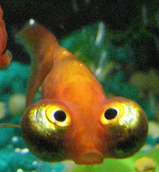 Goldfish with big eyes, and bad memory.