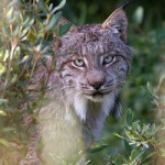 An encounter with the elusive Canadian Lynx