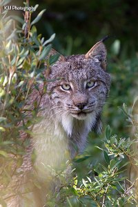 Canadian Lynx, Spray Lakes Road, Alberta, July 30, 2013