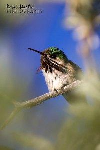 Calliope Hummingbird, Weaselhead, June 2013