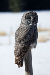 Great Gray Owl, March 2013, Uncropped @ 225mm