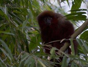 Monkey, Tambopata, Peru
