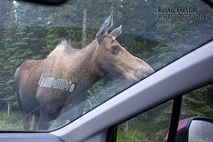Moose through the windshield, July 2013