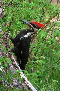 Pileated Woodpecker, Weaselhead, June 2013