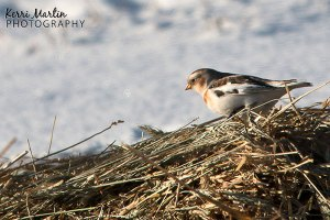 Snow Bunting feeding on Grain, South of Lethbridge, December 2013