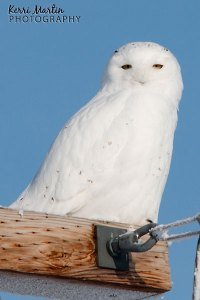 Male Snowy Owl, East of Calgary, December 2013