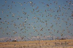 A large flock of Snow Buntings, North of Lethbridge, February 2013