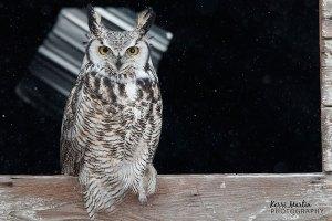 Great Horned Owl, North of Lethbridge, November 2013