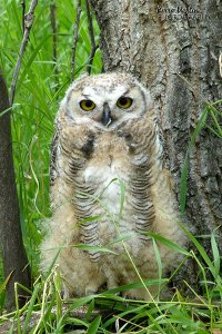 Great Horned Owlet, Fish Creek Park, 2011