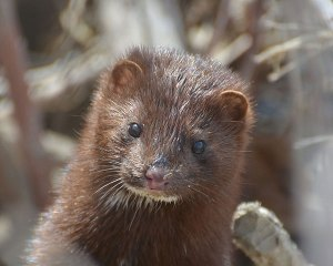 American Mink, Photo by Mike Kelly