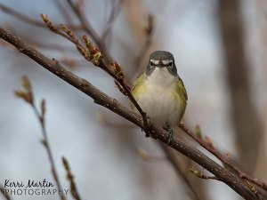 Blue Headed Vireo, Point Peelee