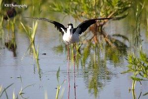 Black Necked Stilt - Frank Lake, AB