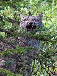 Canadian Lynx Yawn