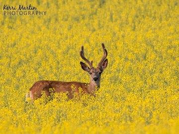 Canola Deer