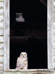 Great Horned Owlet and Shadow mom
