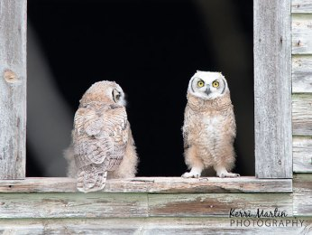 Great Horned Owlets Barn