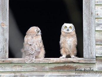 Great Horned Owlets Barn