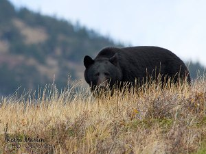 Black Bear - Waterton, AB