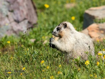 Hoary Marmot Flower