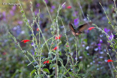 Inca Trail Hummingbird