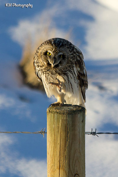 Short Eared Owl - SE of Calgary, AB