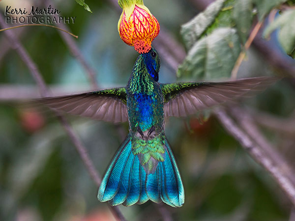 Wildlife Photography: Peruvian Hummingbirds