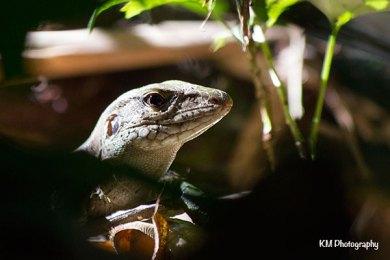 Tambopata Lizard