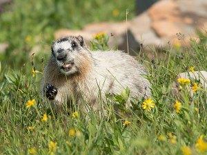 Hoary Marmot - Logan Pass, Montana