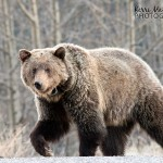 Lucky number 152: my first grizzly bear of the year