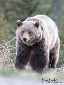 Grizzly Bear, Kananaskis