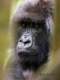 Mountain Gorilla Portrait