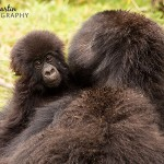 African Adventures Part 1: Mountain Gorillas in Rwanda
